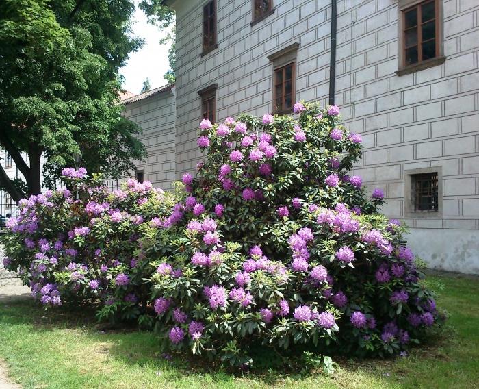 Jak pěstovat rododendrony
