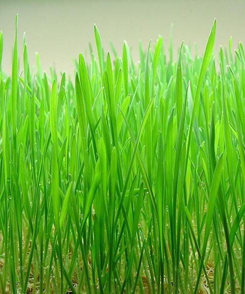 Jak si doma sami můžete vypěstovat mladý zelený ječmen?